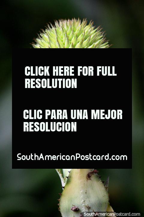Green spiky beehive flower, Sao Paulo Botanical Gardens. (480x720px). Brazil, South America.