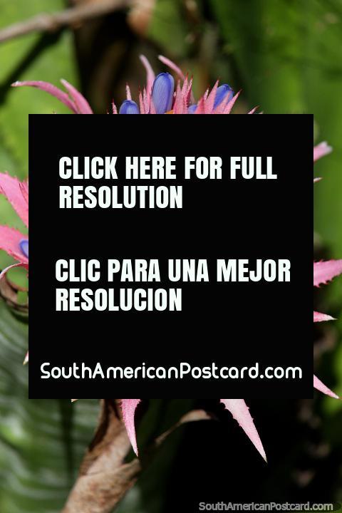 Rosa, purpúreo, a Borgonha, uma flor assombrosa e fábrica encontrei nos Jardins botânicos de São Paulo. (480x720px). Brasil, América do Sul.