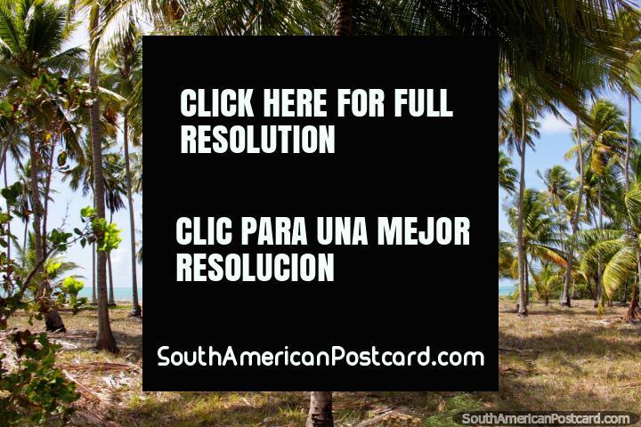 Palm trees on the coast in Japaratinga, journey from Maceio to Maragogi. (720x480px). Brazil, South America.