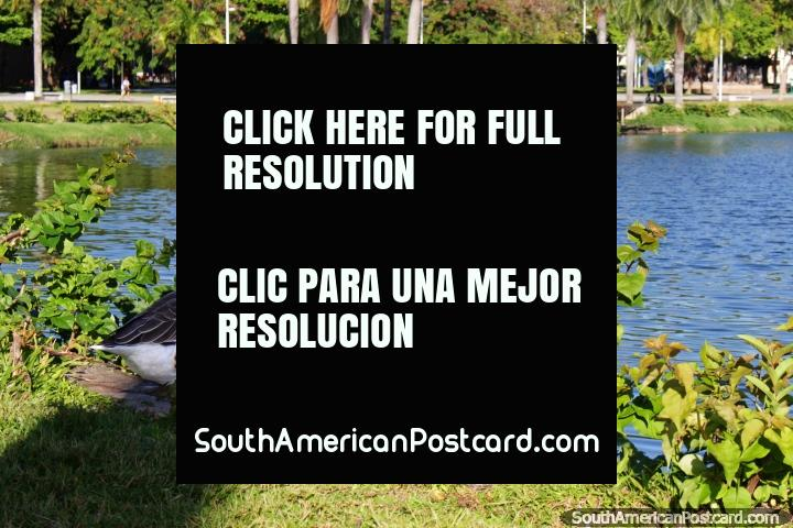 A goose on the edge of the lagoon at Lagoa Park in central Joao Pessoa. (720x480px). Brazil, South America.