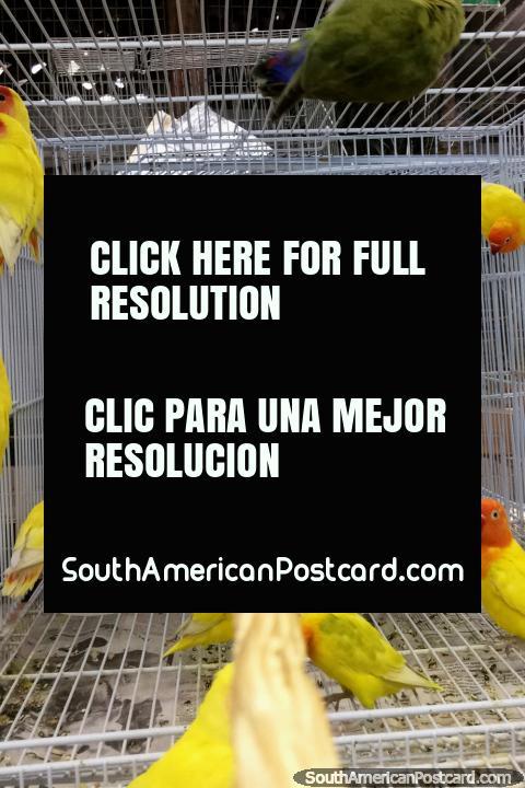 Periquitos amarillos y rojos en jaulas en el área de animales del Mercado Central en Belo Horizonte. (480x720px). Brasil, Sudamerica.