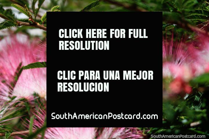 Flores rosadas y blancas interesantes en los jardines de una iglesia en Ouro Preto. (720x480px). Brasil, Sudamerica.