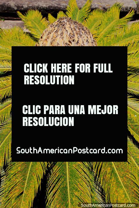 Un ventilador redondo de los helechos con una bola en el centro, Ouro Preto tiene algunas plantas y flores interesantes. (480x720px). Brasil, Sudamerica.