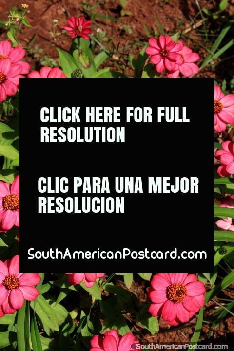 Bright pink flowers in the gardens around Church Igreja Nossa Senhora do Carmo in Ouro Preto. (480x720px). Brazil, South America.