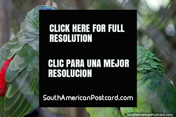 3 loros grandes (papagaio-urubu) en el Parque Ambiental Chico Mendes en Rio Branco. (720x480px). Brasil, Sudamerica.