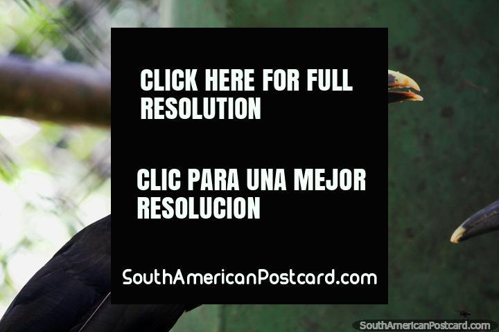 O inconfundível bico grande de um tucano, visto no Parque Ambiental Chico Mendes, em Rio Branco. (720x480px). Brasil, América do Sul.