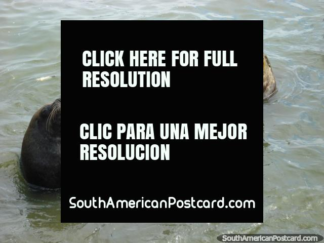 Huge sea-lions in the water on the coast in Iquique. (640x480px). Chile, South America.