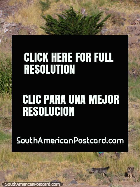 2 mujeres locales que cortan la hierba con sus 2 perros en San Pedro de Atacama. (480x640px). Chile, Sudamerica.