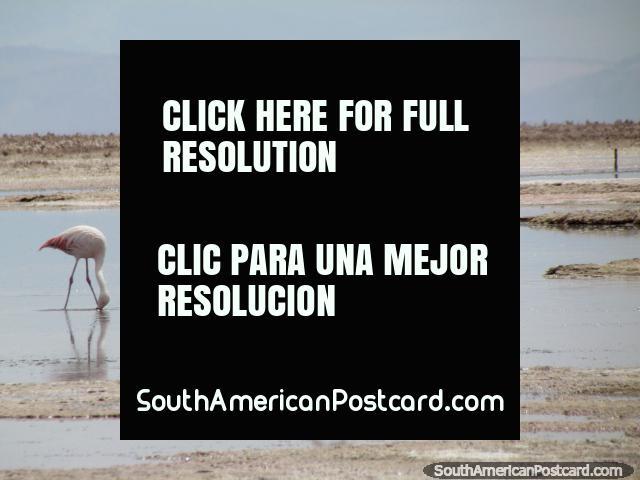 Flamencos en la distancia, esta foto se tomó con un 35x acercamiento, San Pedro de Atacama. (640x480px). Chile, Sudamerica.