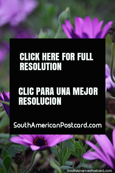 As margaridas purpúreas florem em jardins no clima fresco em Castro no fim de outubro. (480x720px). Chile, América do Sul.