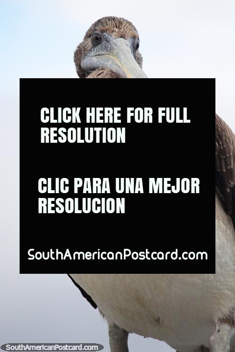 This pelican has a fat belly full of fish but still he wants more, in Castro. (480x720px). Chile, South America.