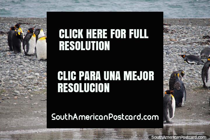 Pingüinos Rey, el segundo pingüino más grande de las 18 especies, Tierra del Fuego. (720x480px). Chile, Sudamerica.