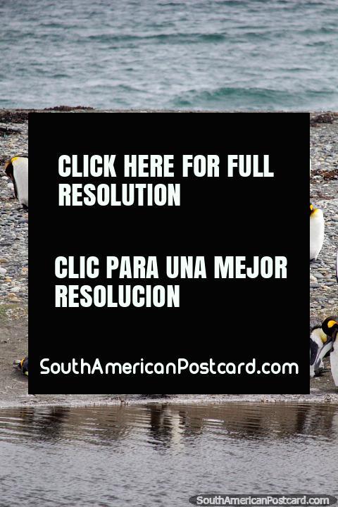 Pingüinos Rey, un tour de todo el día en Tierra del Fuego desde Punta Arenas. (480x720px). Chile, Sudamerica.