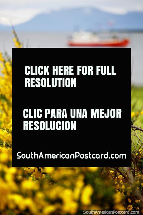 Flores vermelhas em uma neblina de flores amarelas em volta do porto em Porto Natales. (480x720px). Chile, América do Sul.