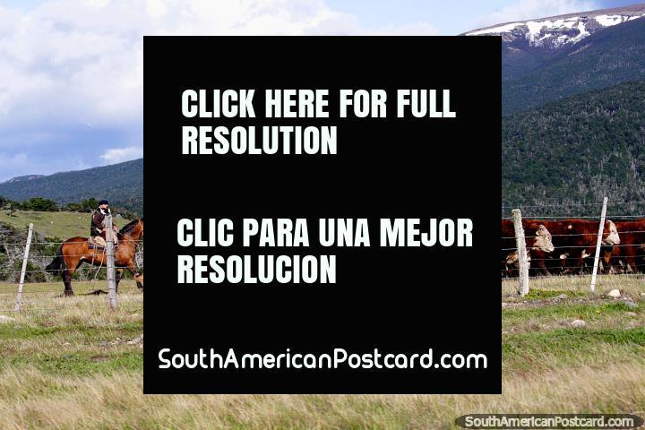 Gauchos (Baqueanos) herding their cattle on horseback around Villa Cerro Castillo. (720x480px). Chile, South America.