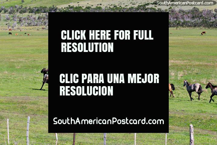 Baqueano entrena a sus caballos en los hermosos pastos verdes alrededor de Villa Cerro Castillo. (720x480px). Chile, Sudamerica.