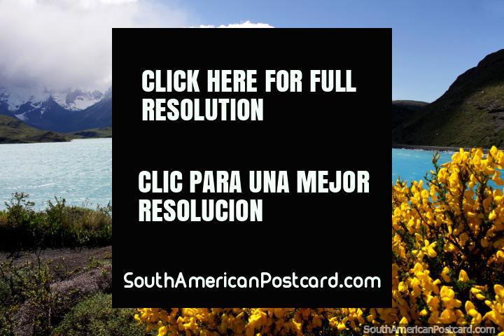 Flores amarelo-vivas e uma grande visão do lago na colina atrás de Hosteria Pehoe, Torres do Paine. (720x480px). Chile, América do Sul.