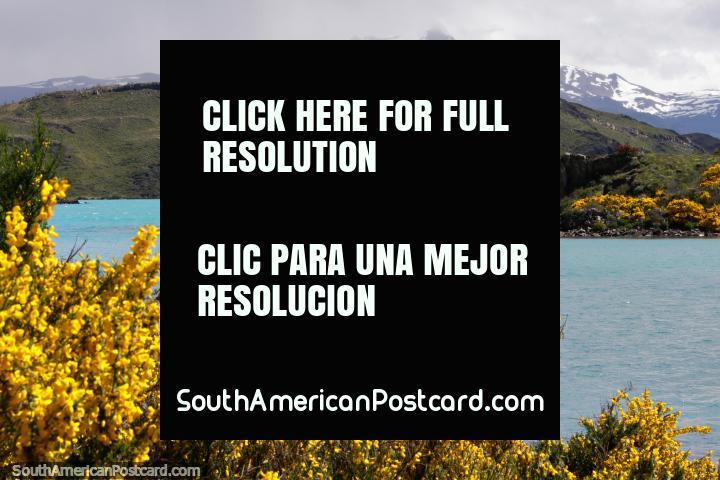 Aguas turquesas y flores amarillas alrededor del Lago Pehoe, un hermoso lugar en Torres del Paine. (720x480px). Chile, Sudamerica.