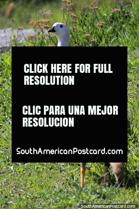Ganso Upland o Ganso Magellan, indígenas del sur de Sudamérica, Torres del Paine. (480x720px). Chile, Sudamerica.