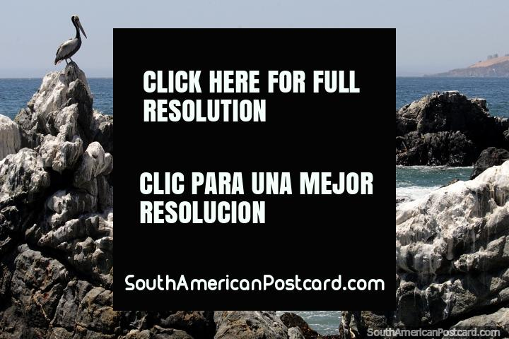 O pelicano empoleirou-se em rochas denteadas na costa em Viña del Mar. (720x480px). Chile, América do Sul.
