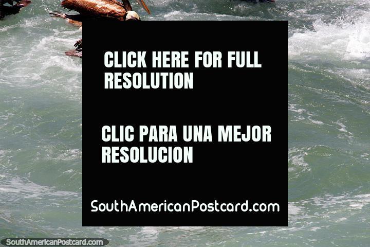 Pelícanos hambrientos con picos anaranjados y azules buscan peces en aguas turbulentas en Viña del Mar. (720x480px). Chile, Sudamerica.