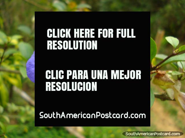 Uma flor purpúrea com amarelo no meio, Salento. (640x480px). Colômbia, América do Sul.