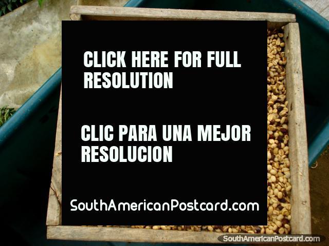 Secar y la clasificación de granos de café en la granja en Salento. (640x480px). Colombia, Sudamerica.
