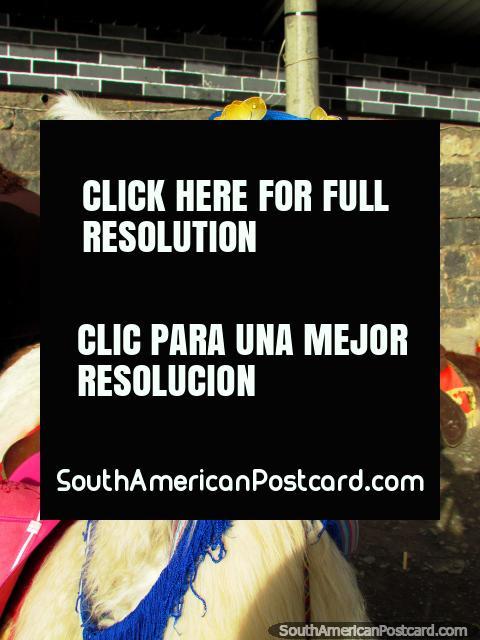 Llama in Ipiales wears a blue hat. (480x640px). Colombia, South America.