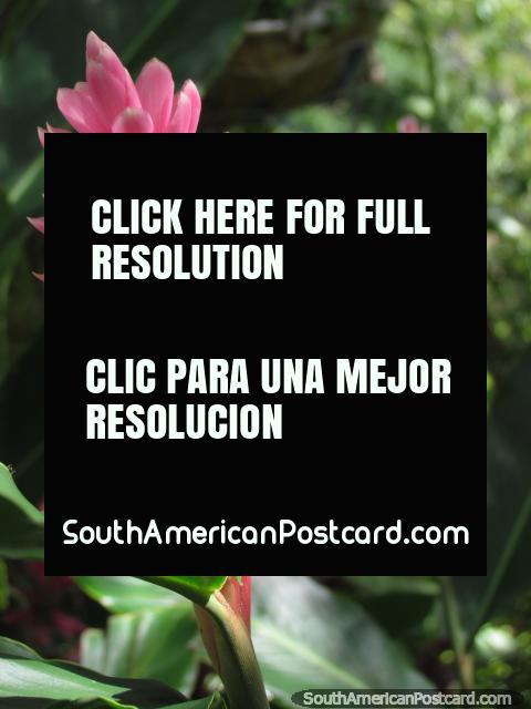 Flores rosa em um jardim em Minca. (480x640px). Colômbia, América do Sul.