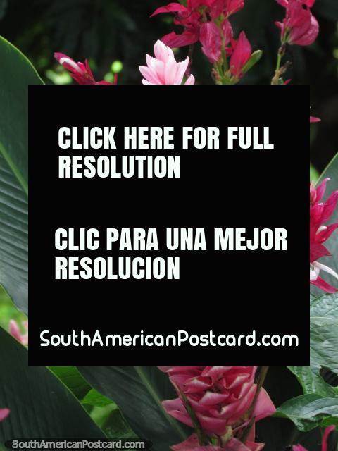 Sombras de rosa, flores en un jardín de Minca. (480x640px). Colombia, Sudamerica.