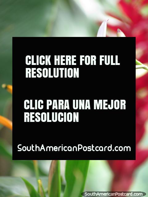 Cor-de-laranja, verde, purpúreo e vermelho, cores do jardim em Minca. (480x640px). Colômbia, América do Sul.