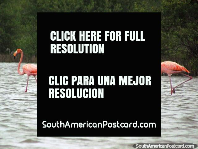4 pink flamingos at the lagoon in Camarones. (640x480px). Colombia, South America.