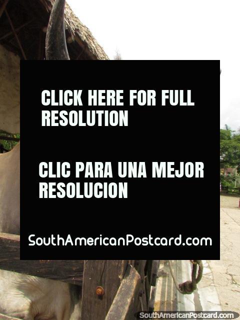 Uma vaca grande e cornuda, parece amistoso, parque dos animais de Panaca, Armênia. (480x640px). Colômbia, América do Sul.