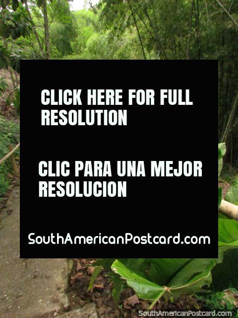 Camino a través de un hermoso bosque de árboles y bambú en el parque Panaca en Armenia. (480x640px). Colombia, Sudamerica.