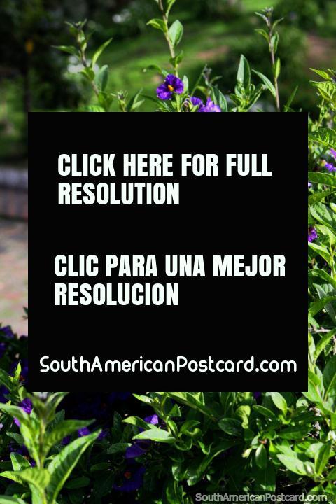 Purple flowers in the gardens at Republica Forest (Bosque de la Republica) in Tunja. (480x720px). Colombia, South America.