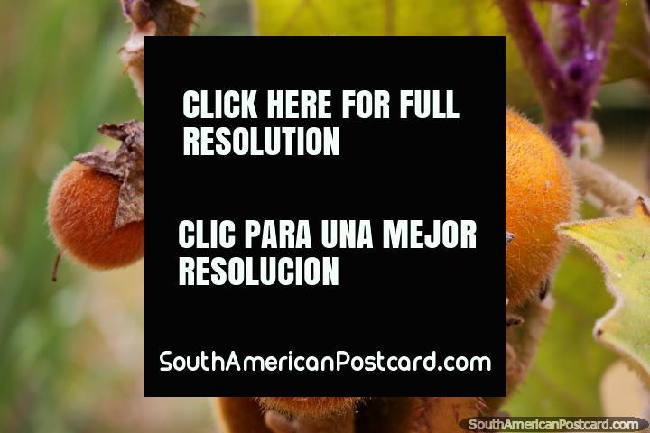 Fruta peluda en un árbol, la Casa Terracota tiene jardines a su alrededor, Villa de Leyva. (720x480px). Colombia, Sudamerica.