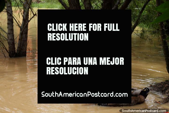 Par de patos, blancos y marrones, en el estanque en la parte posterior de la Casa Terracota en Villa de Leyva. (720x480px). Colombia, Sudamerica.