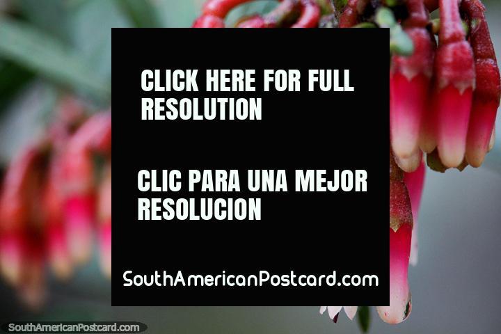 Santuario de Flora y Fauna Iguaque cerca de Villa de Leyva, vainas de flores rojas. (720x480px). Colombia, Sudamerica.