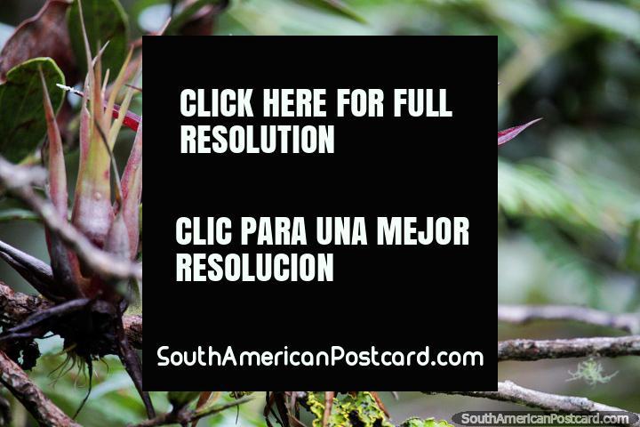 Planta de lino rojo, en busca de plantas interesantes en el Santuario de Flora y Fauna Iguaque, Villa de Leyva. (720x480px). Colombia, Sudamerica.
