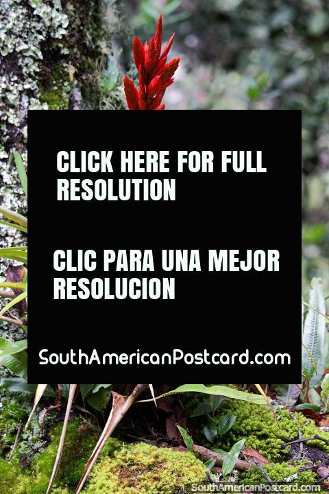 Racimo de flores rojas en los bosques del Santuario de Flora y Fauna Iguaque, Villa de Leyva. (480x720px). Colombia, Sudamerica.