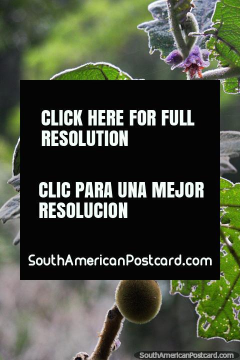 Fruta y flor morada, disfrutando de la naturaleza en el Santuario de Flora y Fauna Iguaque, Villa de Leyva. (480x720px). Colombia, Sudamerica.