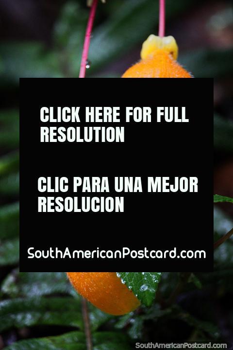 Vagens de flor amarelas com cabelos brancos perfeitos, Santuário de Flora e Fauna Iguaque, Villa de Leyva. (480x720px). Colômbia, América do Sul.