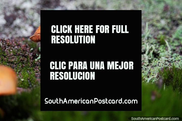 Os cogumelos ficam fora de uso de latido de árvore, Santuário de Flora e Fauna Iguaque, Villa de Leyva. (720x480px). Colômbia, América do Sul.