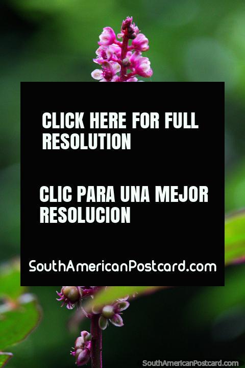 Flores purpúreas e brancas brilham, Santuário de Flora e Fauna Iguaque, Villa de Leyva. (480x720px). Colômbia, América do Sul.