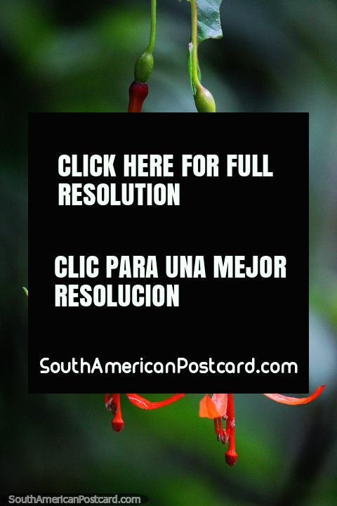As vagens de flor cor-de-laranja suspendem abaixo, o Santuário de Flora e Fauna Iguaque, Villa de Leyva. (480x720px). Colômbia, América do Sul.