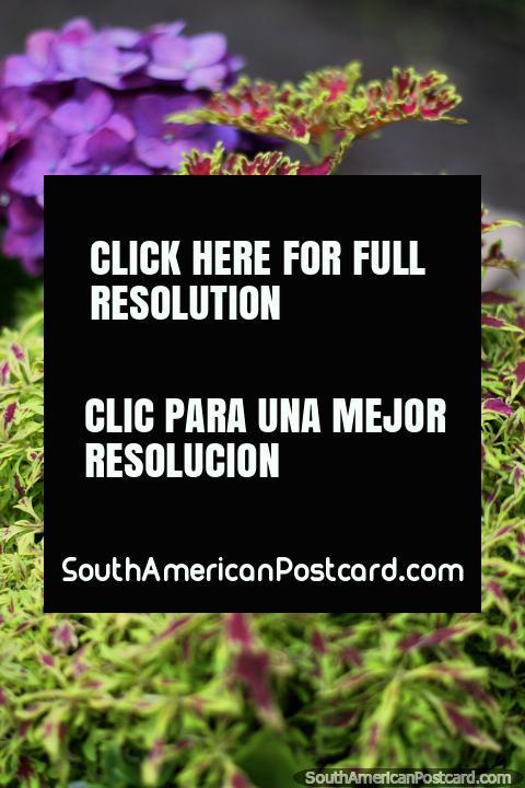 Flora verde e purpúrea nos jardins de Museu de Antonio Ricaurte em Villa de Leyva. (480x720px). Colômbia, América do Sul.