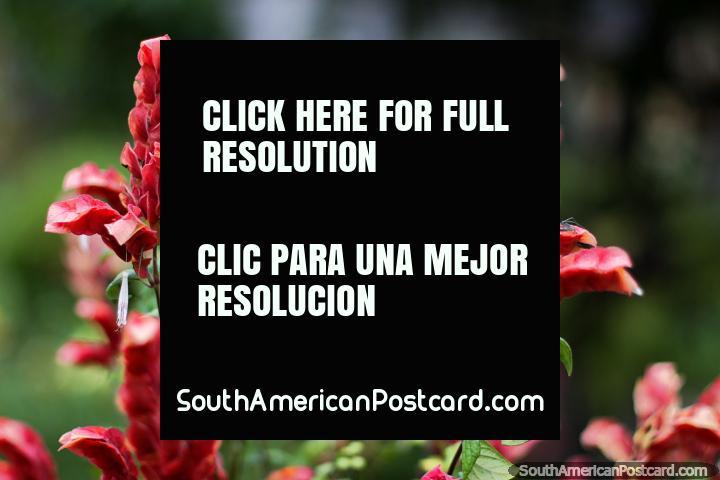 La Casa Museo Antonio Ricaurte en Villa de Leyva tiene hermosos jardines y flores. (720x480px). Colombia, Sudamerica.