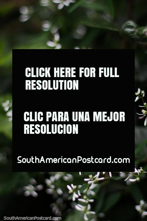 Las flores blancas parecen lluvia cayendo, los jardines de la Casa Museo Antonio Ricaurte, Villa de Leyva. (480x720px). Colombia, Sudamerica.