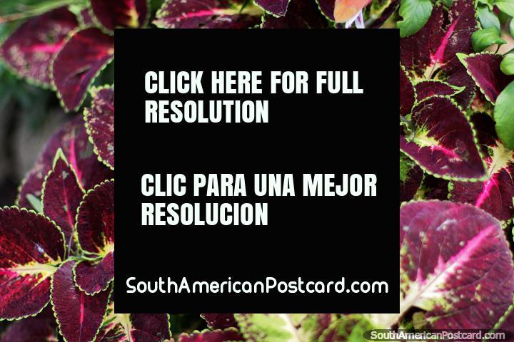 Hojas de color morado oscuro en los jardines del líder independentista Casa Museo Antonio Ricaurte en Villa de Leyva. (720x480px). Colombia, Sudamerica.