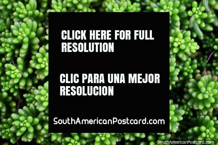 Los racimos de vainas verdes hacen un patrón sorprendente, Casa Museo Antonio Ricaurte, Villa de Leyva. (720x480px). Colombia, Sudamerica.